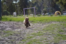 Banksia Park Puppies Ayasha - 14 of 36