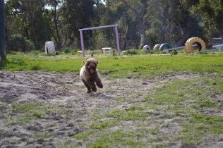 Banksia Park Puppies Ayasha - 14 of 36