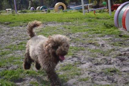 Banksia Park Puppies Ayasha - 17 of 36
