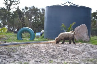 Banksia Park Puppies Ayasha - 3 of 36