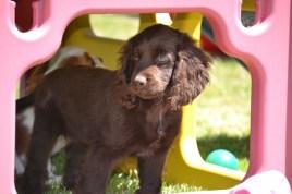 Banksia Park Puppies Bailey 3