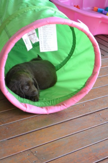 Banksia Park Puppies Bailey c