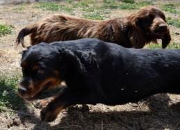 Banksia Park Puppies Brodie