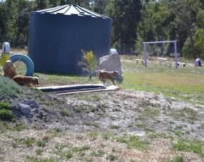 Banksia Park Puppies Brutus - 1 of 20 (12)