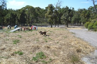 Banksia Park Puppies Brutus - 1 of 20 (6)