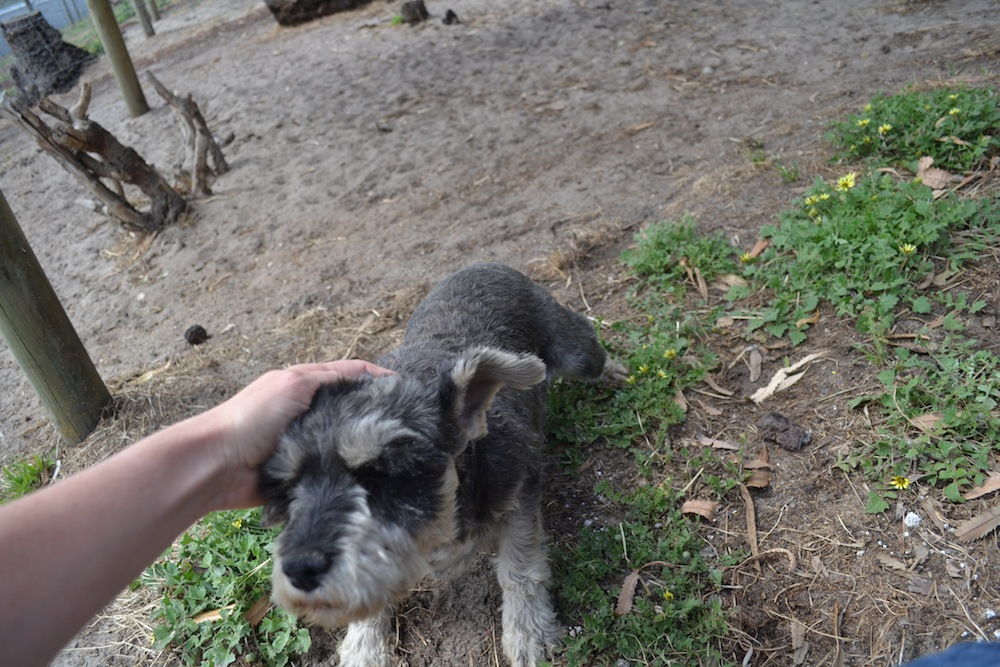 Banksia Park Puppies Charmer