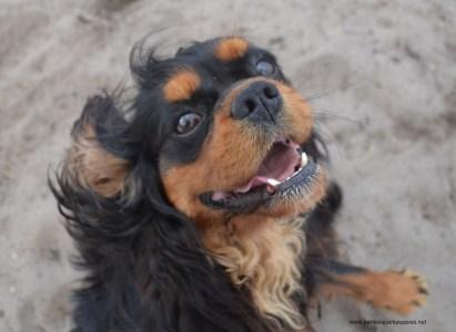 Banksia Park Puppies Diesel