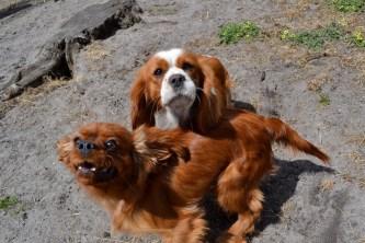 Banksia Park Puppies Hazel