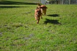 Banksia Park Puppies Hilary Buffy 2