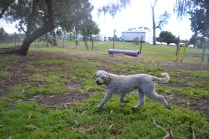 banksia-park-puppies-jack-2-of-11
