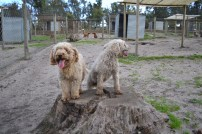 Banksia Park Puppies Kiki and Brutus - 1
