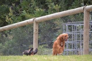 Banksia Park Puppies Moo Moo