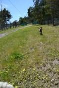 Banksia Park Puppies Mustbee