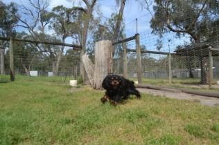 Banksia Park Puppies Pete