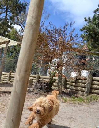Banksia Park Puppies Samara