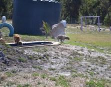 Banksia Park Puppies Sami - 1 of 15 (14)