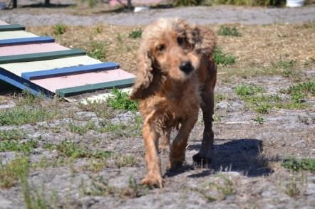 Banksia Park Puppies Sami - 1 of 15 (7)