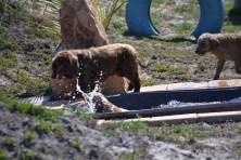 Banksia Park Puppies Sami - 1 of 15