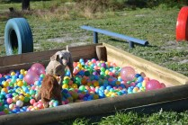 Banksia Park Puppies Sami - 21 of 36