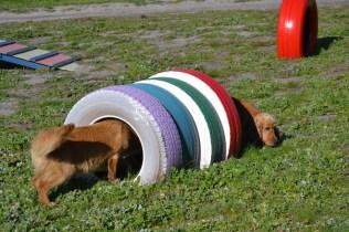 Banksia Park Puppies Sami - 32 of 36