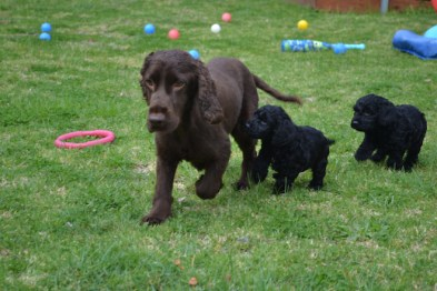 banksia-park-puppies-wanika-28-of-83