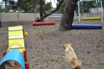 Banksia Park Puppies_Aminda