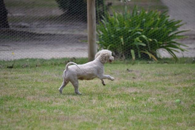 Banksia Park Puppies_Augie