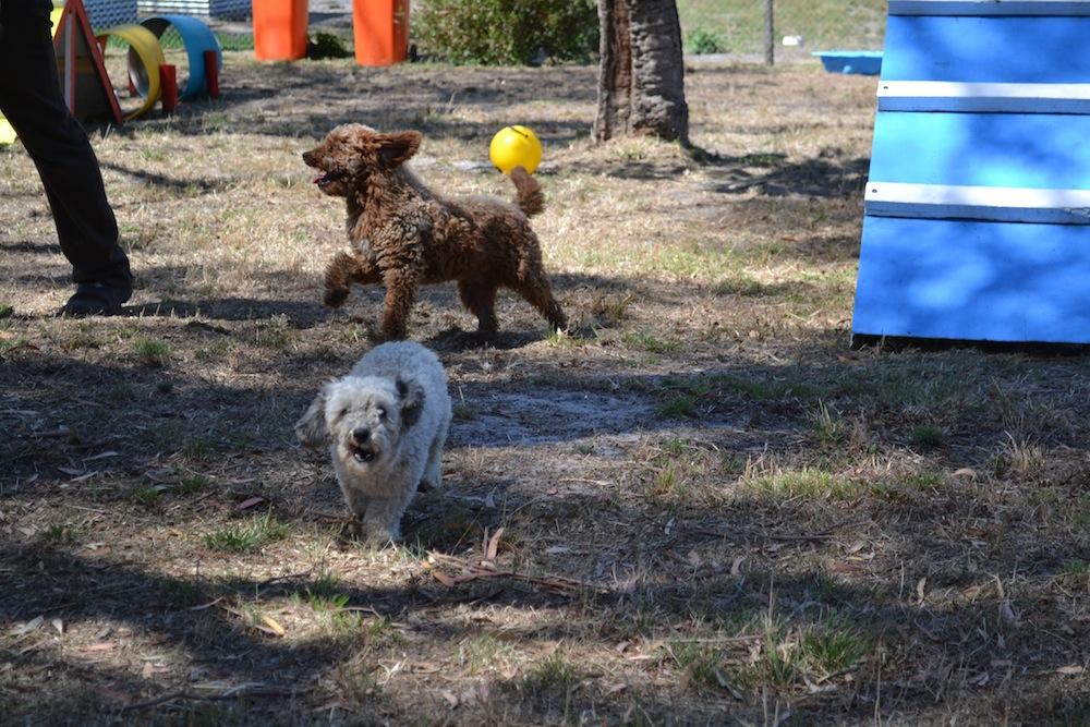 Banksia Park Puppies_Blue
