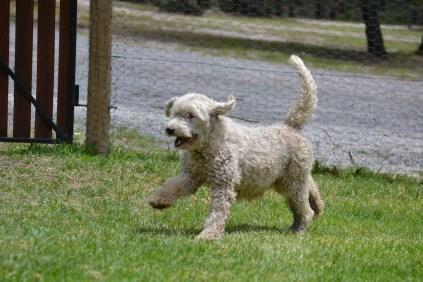 Banksia Park Puppies_Creamy