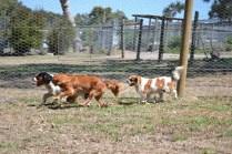 Banksia Park Puppies_Leanne