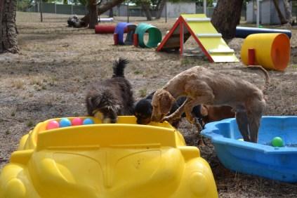 Banksia Park Puppies_Bitsy