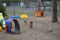 Banksia Park Puppies_Tobasco