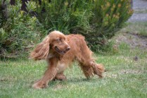 Banksia Park Puppies_Wally 1