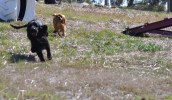 Banksia Park Pupppies Hermione - 1 of 6 (4)