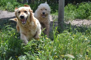Banksia Park Puppies Elanora