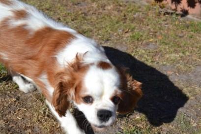 Oddball- Banksia Park Puppies - 1 of 33