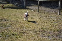 Oddball- Banksia Park Puppies - 11 of 33