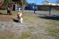 Oddball- Banksia Park Puppies - 17 of 33
