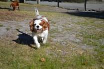 Oddball- Banksia Park Puppies - 19 of 33