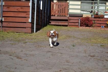Oddball- Banksia Park Puppies - 23 of 33