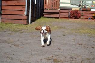 Oddball- Banksia Park Puppies - 24 of 33