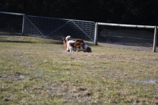 Oddball- Banksia Park Puppies - 25 of 33