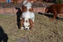 Oddball- Banksia Park Puppies - 7 of 33