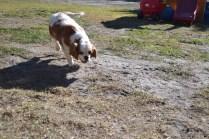 Oddball- Banksia Park Puppies - 9 of 33