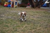 Sylvie-Cavalier-Banksia Park Puppies - 10 of 27