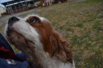 Sylvie-Cavalier-Banksia Park Puppies - 15 of 27