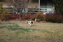 Sylvie-Cavalier-Banksia Park Puppies - 5 of 27