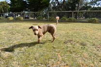 Tobasco-Poodle-Banksia Park Puppies - 18 of 80