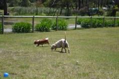 banksia-park-puppies-aino-6-of-23