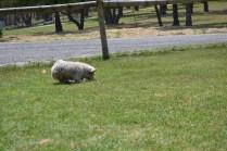 Banksia Park Puppies Fooseball